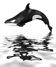Isolated Killer Whale With Reflection