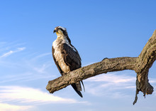 Osprey Perched On A Tree Limb