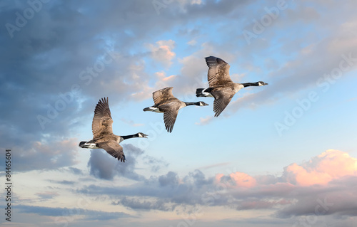 Fotografie, Obraz  Geese flying at sunset