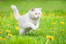White British Shorthair Cat Ru...
