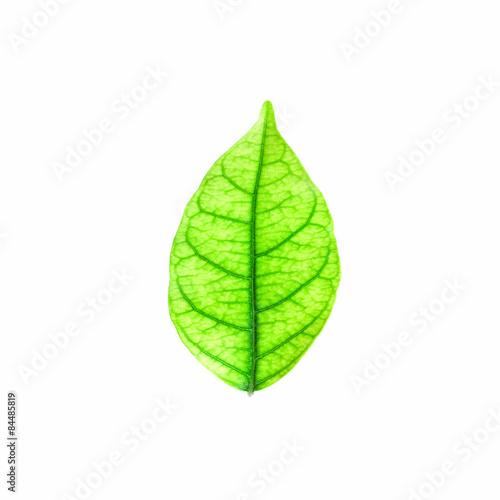 Tuinposter Decoratief nervenblad leaves isolated on white background