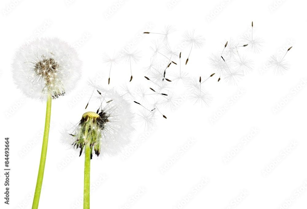 Fototapety, obrazy: Dandelion, Dandelion Green, Blowing.