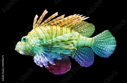 Valokuva  Pterois volitans, Lionfish - Isolated on black