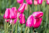 Kilka różowych tulipanów