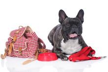 French Bulldog With Travel Kit