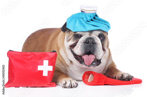 Fotografia  English bulldog with emergency kit