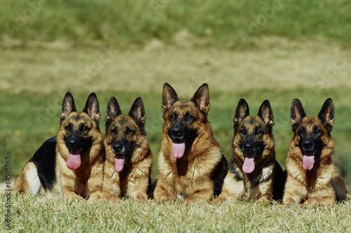 Fotografía  groupe de 5 bergers allemands allongés de face - obéissance