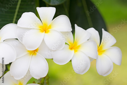 Spoed Foto op Canvas Frangipani Plumeria or Paper flower on tree plant