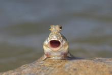 Rockskipper Or Mudskipper Fish...