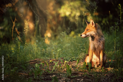 Vászonkép Fox on the summer forest