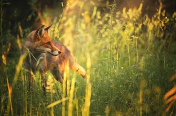 Fototapeta Fox on the summer forest