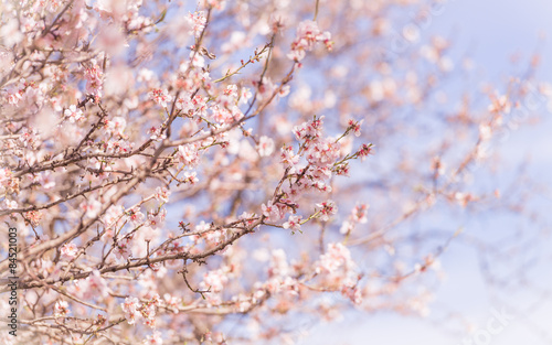 Photo  Almond-Blossom