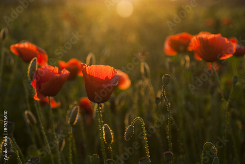 Ingelijste posters Poppy Field of poppies at sunset