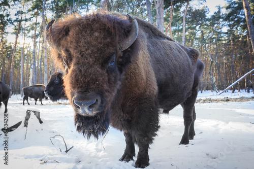 Staande foto Bison aurochs in winter forest