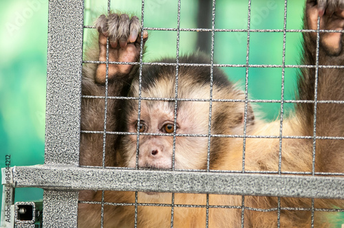 Fotografia, Obraz  Capuchin in the cage