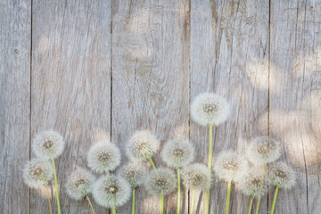 Dandelion flowers on wood
