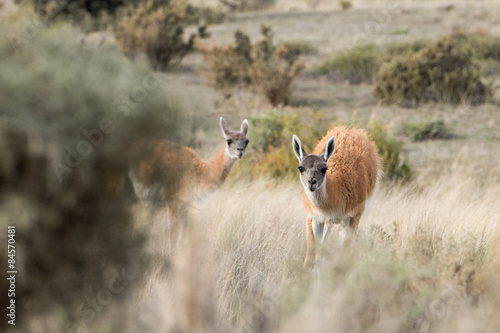 Staande foto Ree guanaco portrait in Argentina Patagonia