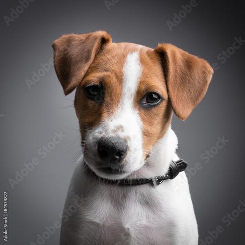 Fotografie, Obraz  jack russell terrier puppy
