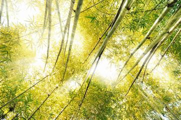 Fototapeta Bambus the bamboo forest and the sunlight