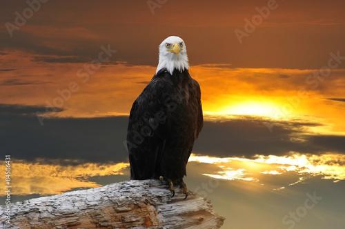 Fotografie, Obraz  Alaskan Bald Eagle at sunset