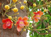 Cannon Ball Flower