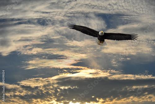 Bald Eagle flying over Alaska Poster