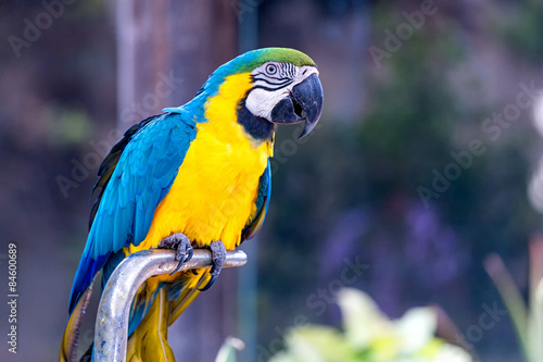 Papiers peints Perroquets Blue and Gold or yellow Macaw parrot