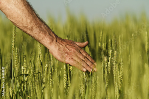 Foto  Hand of a farmer touching ripening wheat ears in early summer.