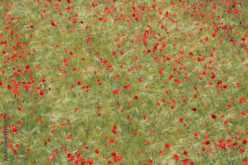 Valokuva  Red poppies on the field