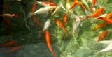 Fototapeta Do akwarium - Złote rybki pod wodą - Karpie Koi