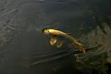 Fototapeta  - Złota rybka pod wodą