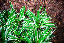 Lush Spider Plant Or Airplane Plant In The Garden
