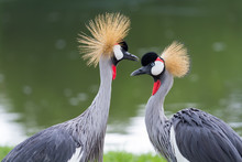 Beautiful Crowned Crane