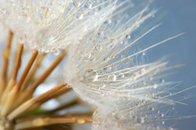 Close-up Of Dandelion With Drops