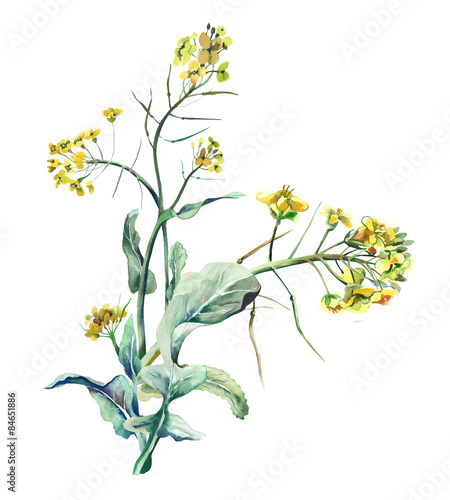 Fototapety, obrazy: Watercolor Rapeseed