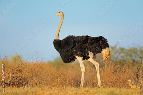 Staande foto Struisvogel Male ostrich with chicks, Kalahari desert