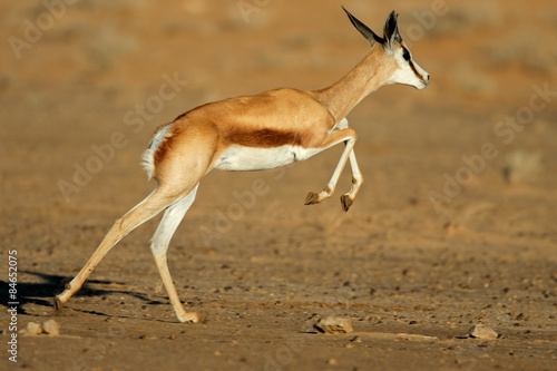 Deurstickers Antilope Running springbok antelope, Kalahari desert