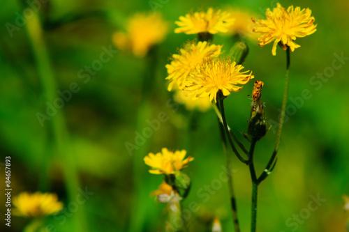 Fiore Giallo Nel Prato Sfondo Verde Erba Acquista Questa Foto