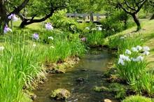 小川と花菖蒲