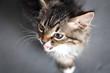 portrait of a kitten meowing