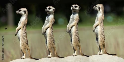 Canvas Print Meerkats