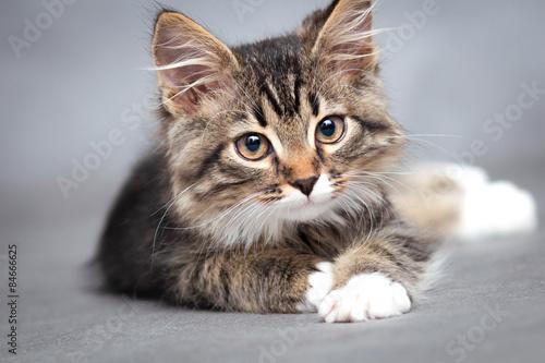 Fototapeta premium portret leżącego kota