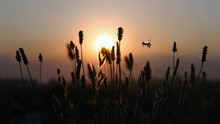 In Flight Bee At Sunset