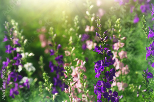 Fotomural purple and pink delphinium flowers