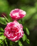 Piękna róża w makro