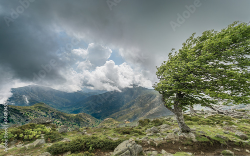 A windswept tree on a mountain ridge on the GR20 in Corsica Lerretsbilde