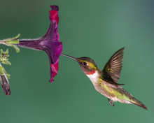 A Ruby-throated Hummingbird Eating Nectar From A Pentunia.