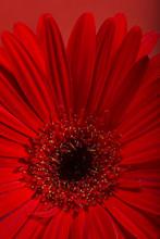 Gerbera Flower Blossom.