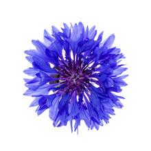 Blue Cornflower Flower