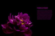 Purple Peony Isolated